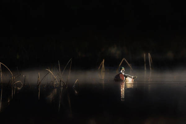Photograph - Duck Of The Morning Mist by Bill Wakeley