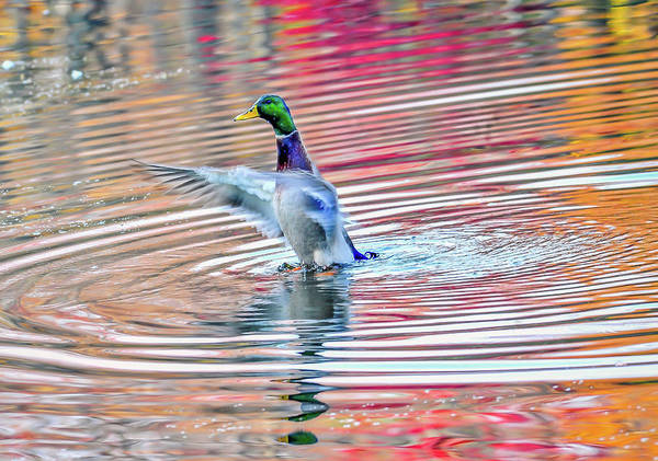 Photograph - Duck On An Autumn Pond In The Chesapeake Bay Maryland by Patrick Wolf