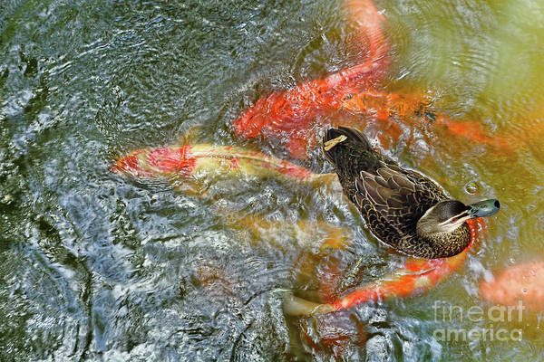 Turmoil Photograph - Duck On Koi By Kaye Menner by Kaye Menner