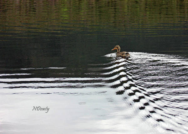 Photograph - Duck On Ripple Wake by Natalie Dowty