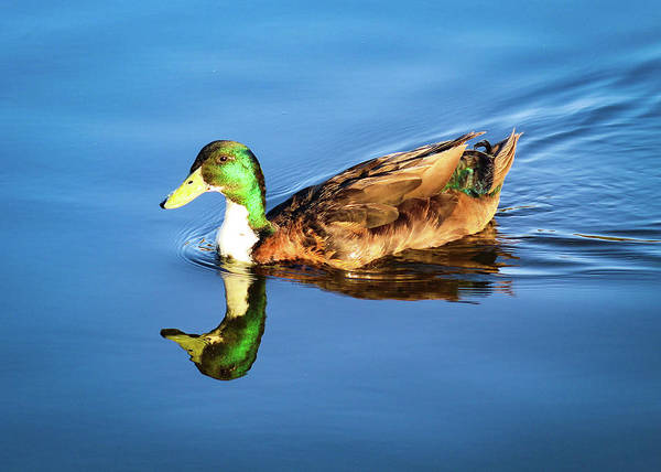 Photograph - Duck On The Lake by Alison Frank