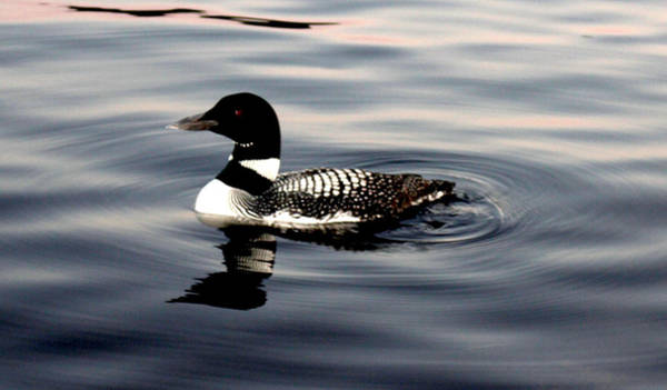 Photograph - Duck On The Lake by Robert Morin