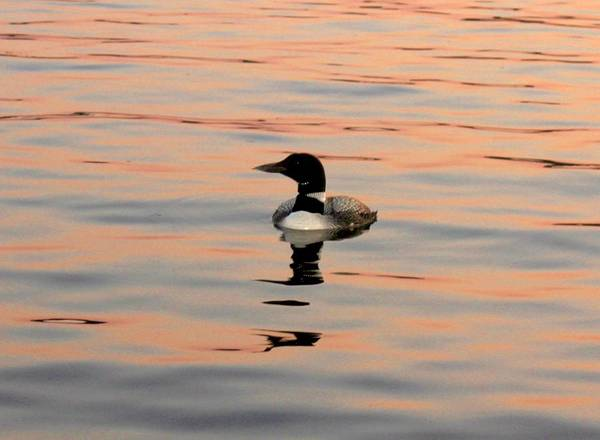Photograph - Duck On The Water by Robert Morin