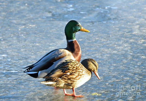 Photograph - Duck Pair On Frozen Lake by Cindy Schneider