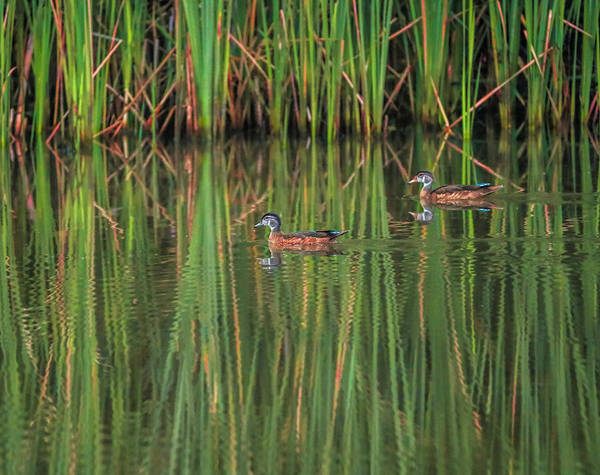 Photograph - Duck Reflection On Summer Green by Dan Sproul