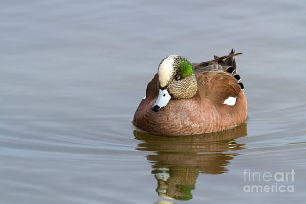 Photograph - Duck Series - American Wigeon by Beve Brown-Clark Photography