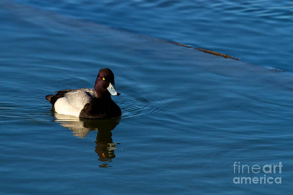 Photograph - Duck Series- Lessor Scaup  by Beve Brown-Clark Photography