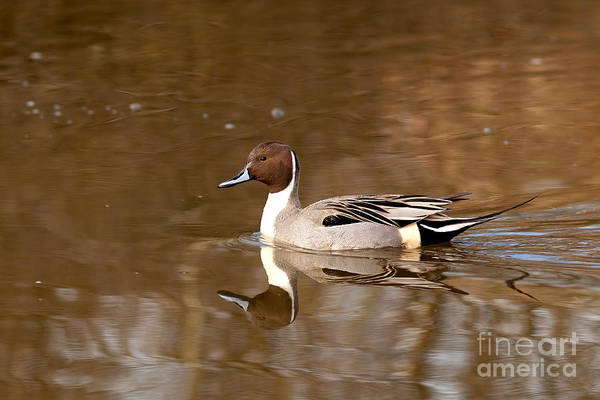 Photograph - Duck Series - Northern Pintail by Beve Brown-Clark Photography