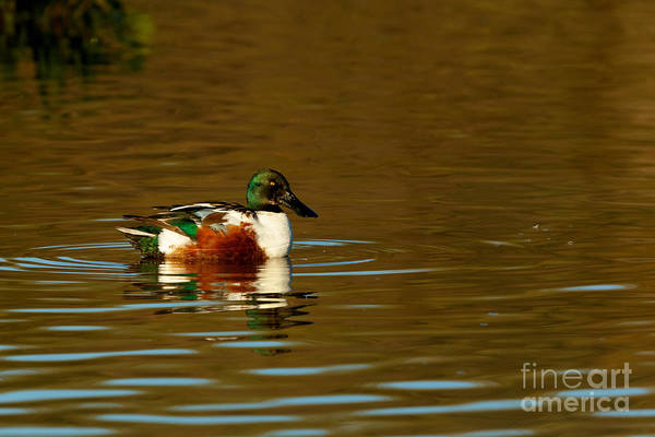 Photograph - Duck Series - Northern Shoveler by Beve Brown-Clark Photography