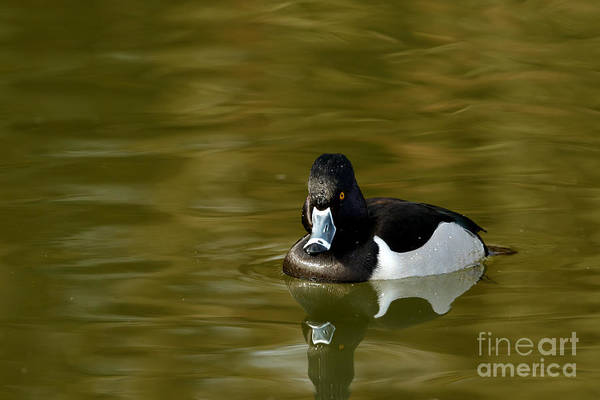Photograph - Duck Series - Ring-necked Duck by Beve Brown-Clark Photography