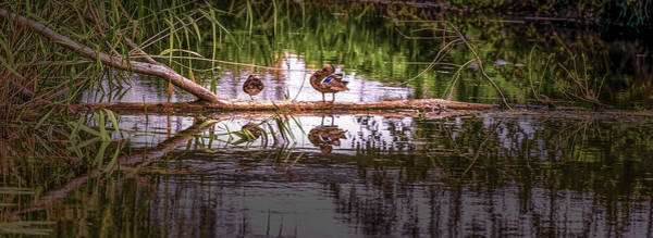 Photograph - Duck Stock #g6 by Leif Sohlman