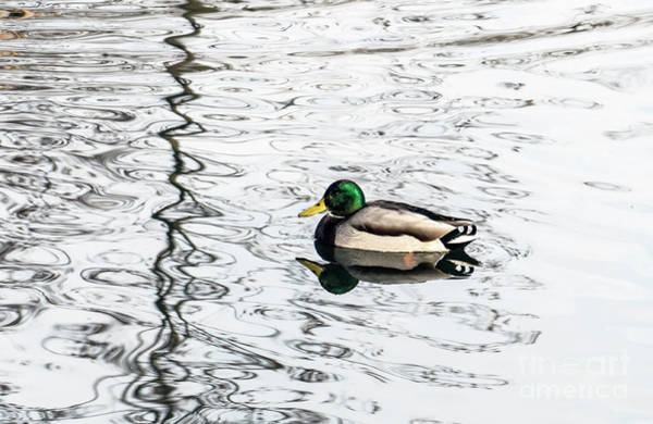 Photograph - Duck Swims On The River by Odon Czintos