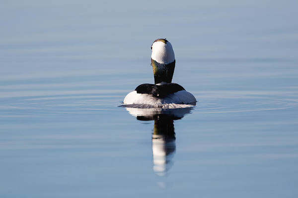 Photograph - Duck Tail by Bill Wakeley