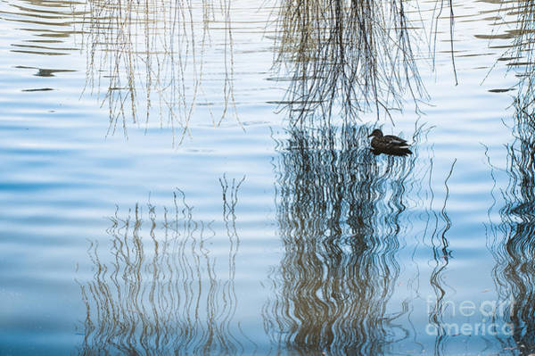 Wall Art - Photograph - Duck Under Willow Droop Twigs by Arletta Cwalina