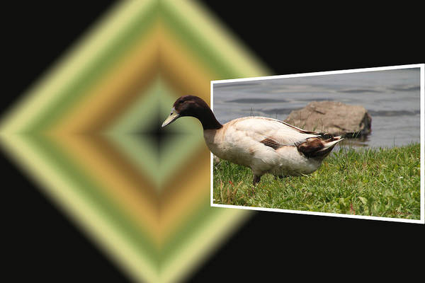 Photograph - Duck Walk by Ericamaxine Price