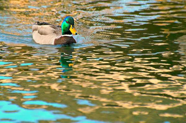 Wall Art - Photograph - Duck Whisperer by Diana Angstadt