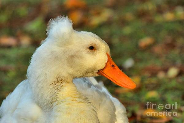Photograph - Duck With A Mohawk by Adam Jewell