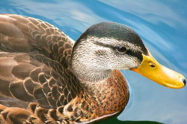 Photograph - Duck With Yellow Beard by Polly Castor