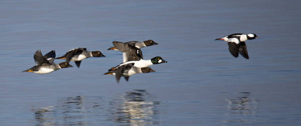 Wall Art - Photograph - Duckin Out by Randy Hall