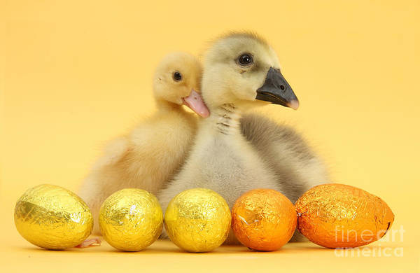 Duckling And Gosling At Easter Art Print
