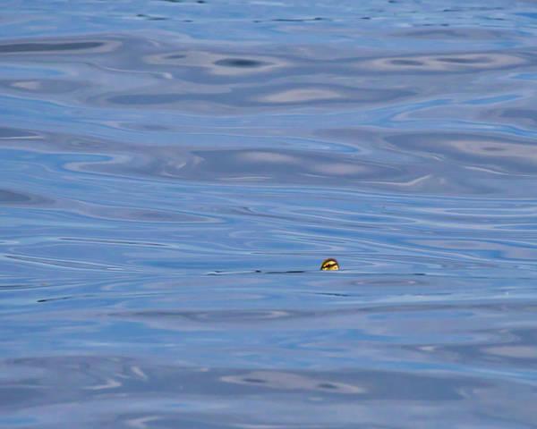 Photograph - Duckling - Lake Monona - Madison by Steven Ralser