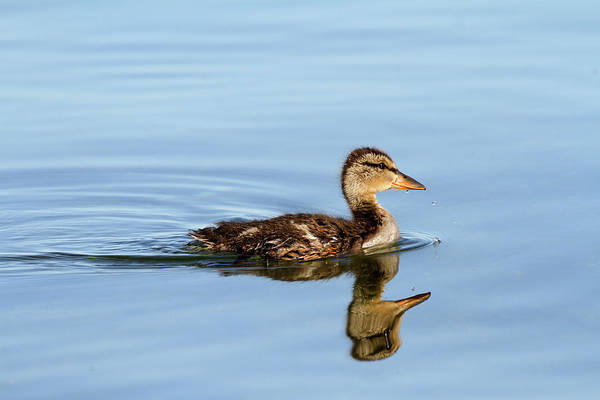 Photograph - Duckling Out For A Swim by Jackson Pearson