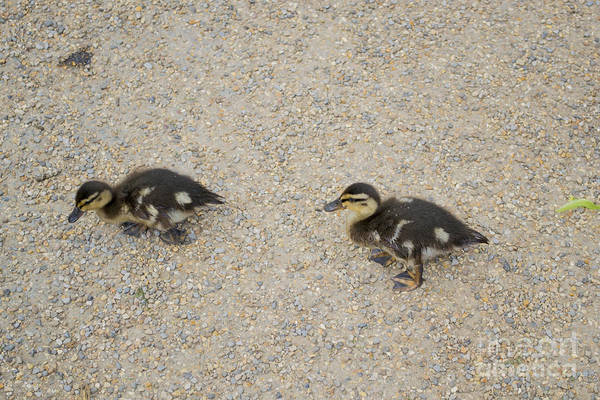 Wall Art - Photograph - Ducklings by Anthony Chapman