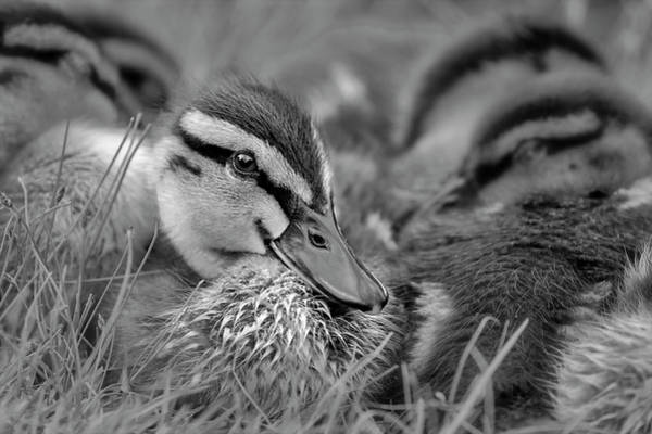 Photograph - Ducklings Cuddling Bw by Susan Candelario