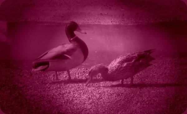 Photograph - Ducks #1 by Anne Westlund