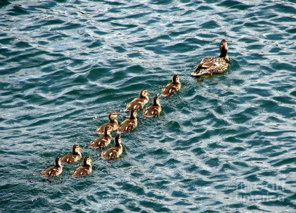 Photograph - Ducks 1 Momma And 10 Ducklings by Rose Santuci-Sofranko