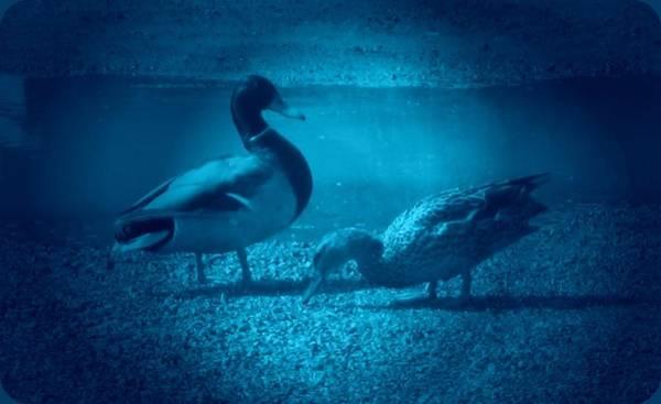 Photograph - Ducks #2 by Anne Westlund