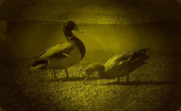 Photograph - Ducks #3 by Anne Westlund