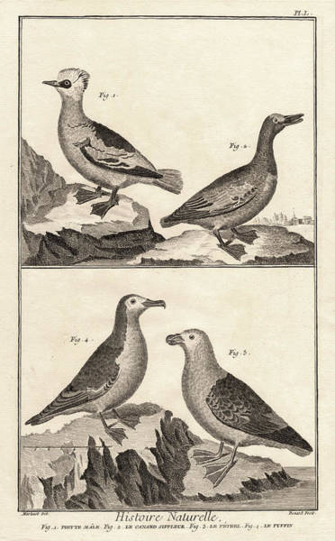 Twitcher Wall Art - Digital Art - Ducks And Puffins Antique Print by Antique Images