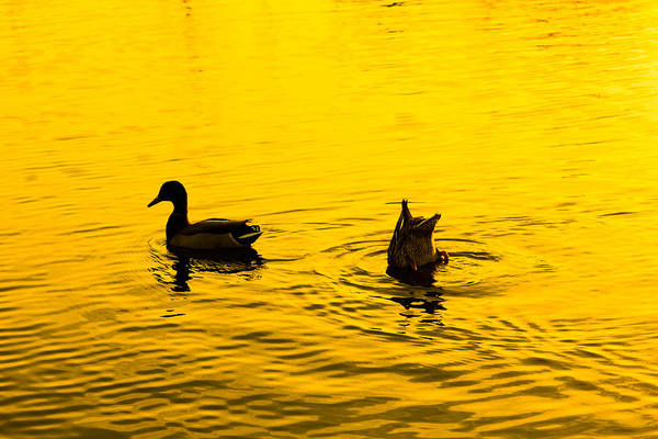 Photograph - Ducks At Sunset by SR Green