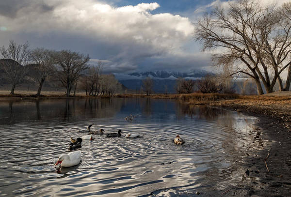 Fowl Photograph - Ducks by Cat Connor