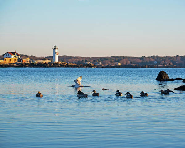 Photograph - Ducks Congregating Near The Portsmouth Lighthouse Portsmouth Nh New Hampshire by Toby McGuire