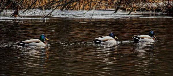 Greenhead Photograph - Ducks In A Row by Dale Kauzlaric
