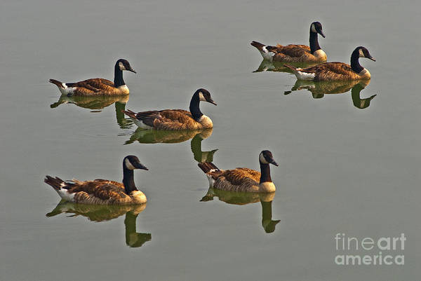 Photograph - Ducks In A Row by Paul W Faust -  Impressions of Light