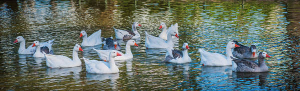 Photograph - A Gaggle Of Geese. by Usha Peddamatham