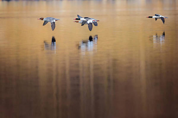 Photograph - Ducks In Flight by Bill Wakeley