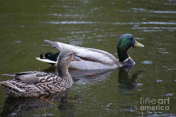 Photograph - Ducks In Point Roberts Pond by Donna L Munro
