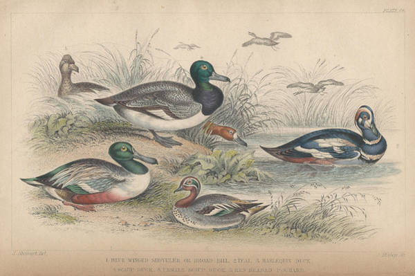 Print Drawing - Ducks by Dreyer Wildlife Print Collections