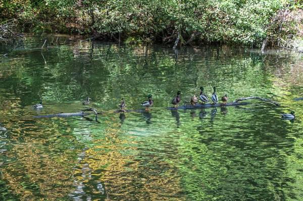 Photograph - Ducks On A Log by NaturesPix