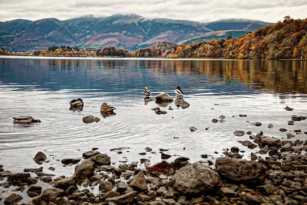 Photograph - Ducks On Derwent by Makk Black