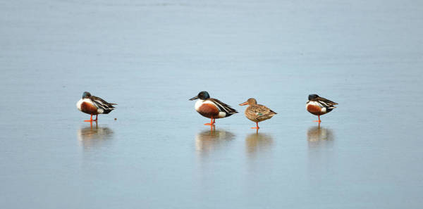 Wall Art - Photograph - Ducks On Ice by Whispering Peaks Photography