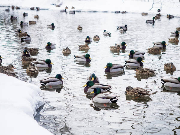 Photograph - Ducks Swimming By Snowy Shore by Whitney Leigh Carlson