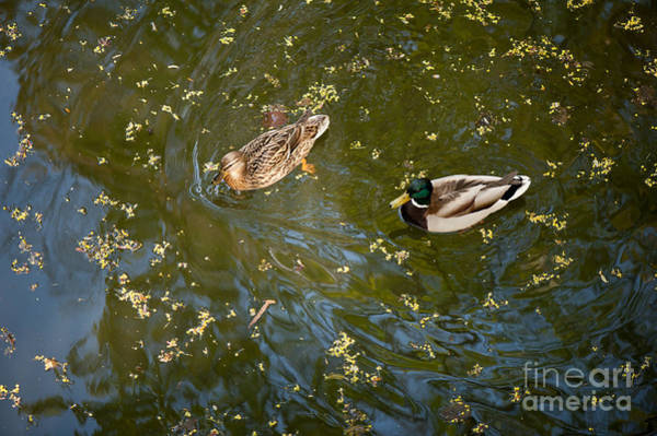 Wall Art - Photograph - Ducks Swimming On The Pond by Arletta Cwalina