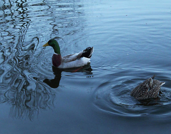 Photograph - Mallard Duck by Melinda Blackman