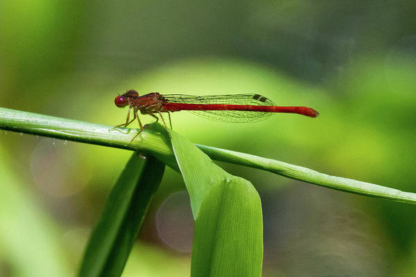 Photograph - Duckweed Firetail Damselfly by Paul Rebmann