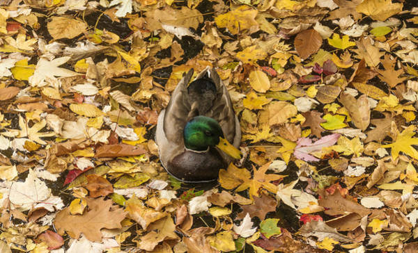 Photograph - Ducky In The Leaves by Jorge Perez - BlueBeardImagery